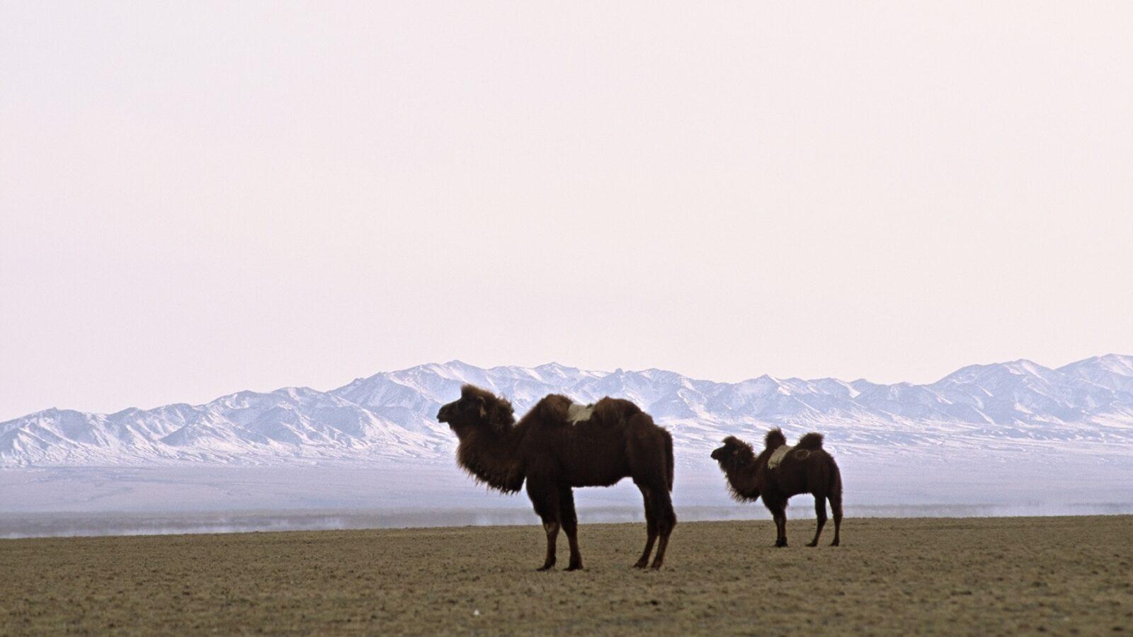 Camels and Landscape 672